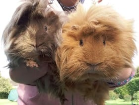 Pets Gallery 2 Guinea Pigs